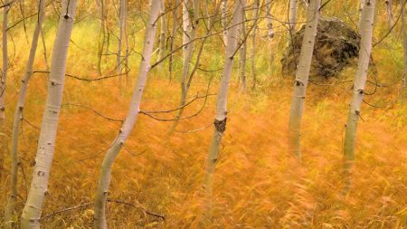 Aspen Trees and Wind-blown grasses