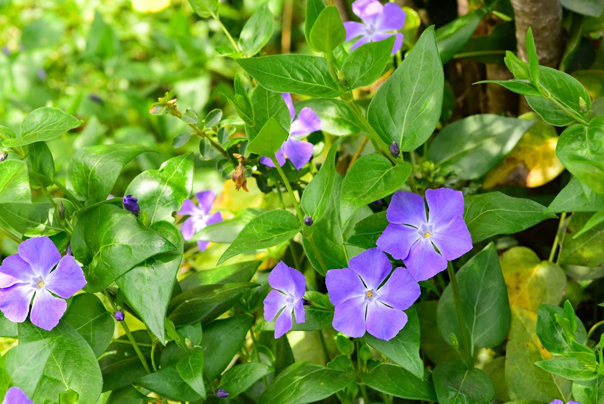 piante-sempreverdi-balcone 15