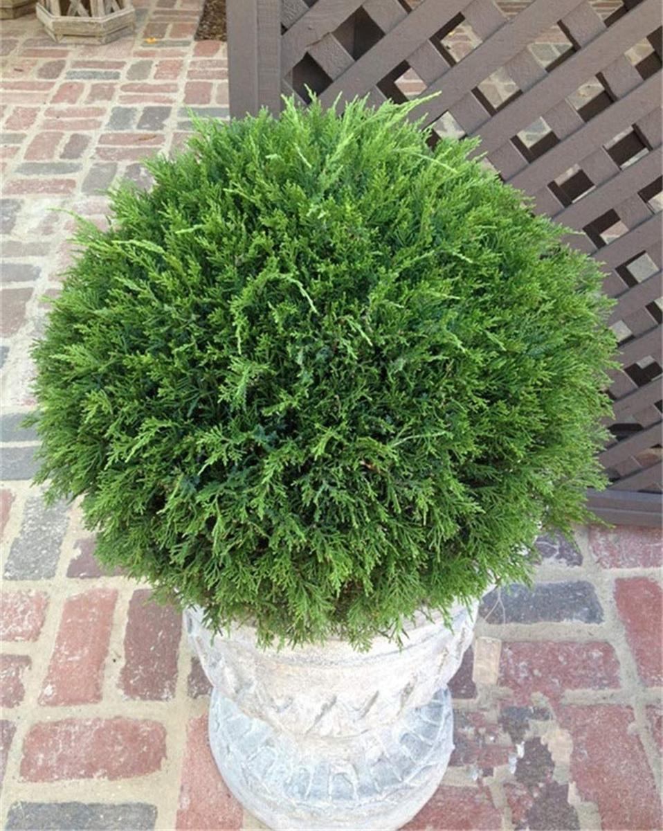piante-sempreverdi-balcone 9