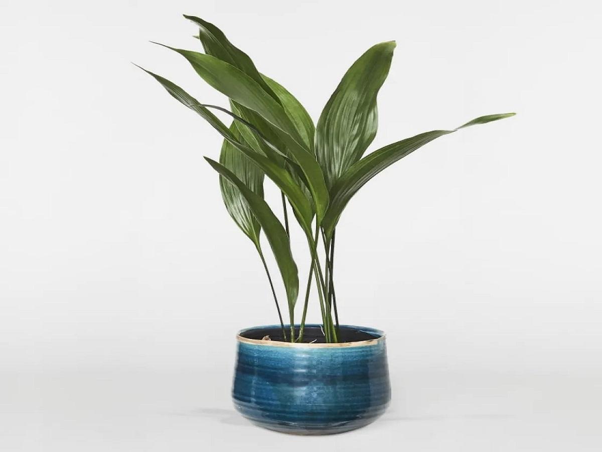 piante per arredare casa in autunno 10 idee e foto pianta di ghisa
